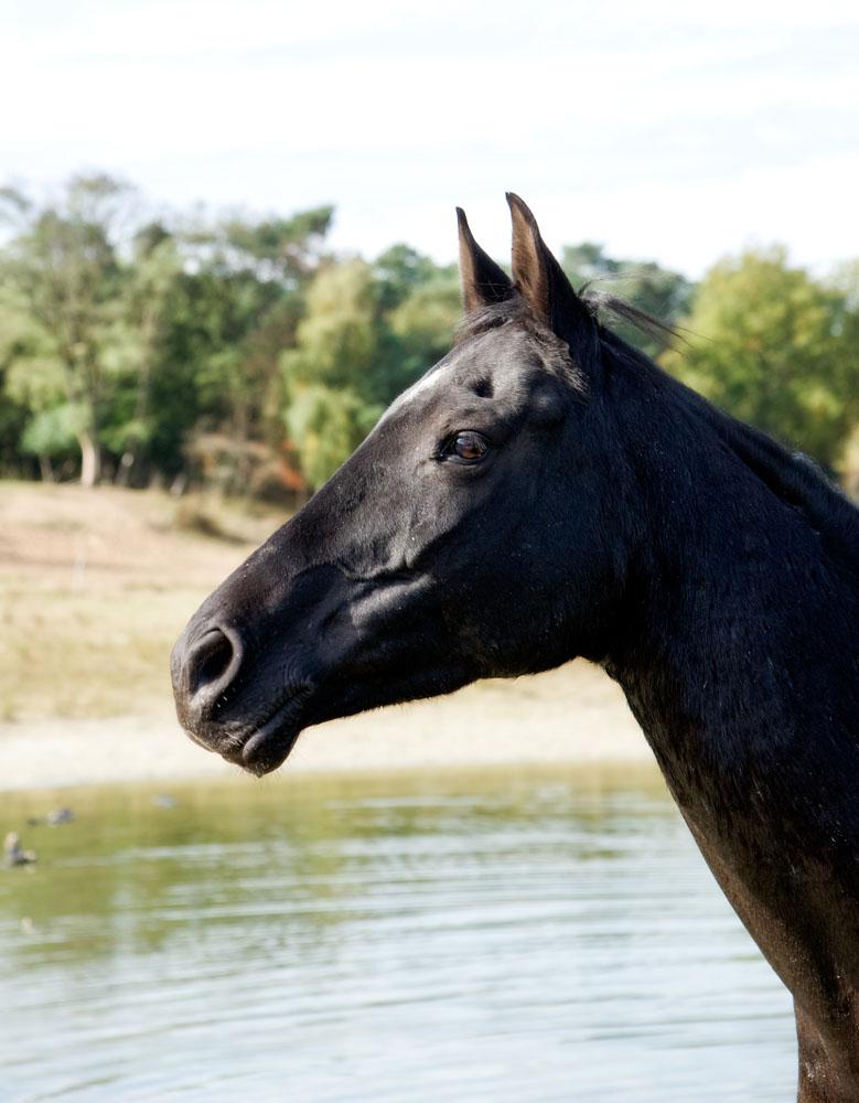 Niestadt-Fotografie-Schoonhoven-paarden-shoot-op-de-heide-in-Horst-5