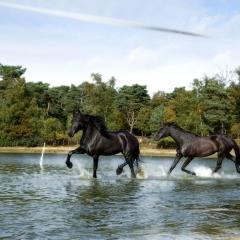 Niestadt-Fotografie-Schoonhoven-paarden-shoot-op-de-heide-in-Horst-3